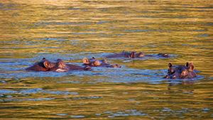 Flusspferde-Elke-Brueser-300